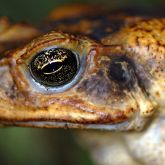 Cane toad head