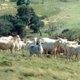 Feral goat herd