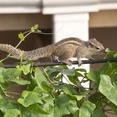 Indian palm squirrel side view