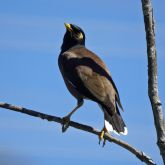 Indian myna on branch