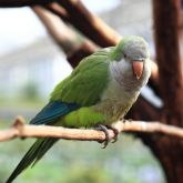 Monk parakeet perched