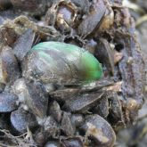 Asian green mussels