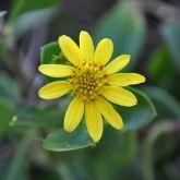 Bitou bush flower