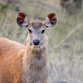 Juvenile sambar deer