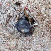 Tropical fire ants attack a turtle hatchling that is still in its nest