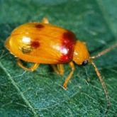 Orange oval-shaped beetle with reddish patches