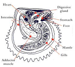 Anatomy of an oyster