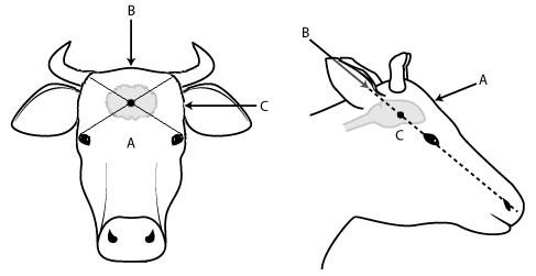 Diagram with markings A, B and C to show recommended position on animal's head for human destruction of cattle