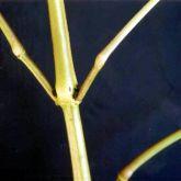 Hygrophila stem