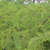 Mimosa pigra leaves and branches