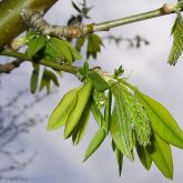 Golden chain tree leaves and flower buds