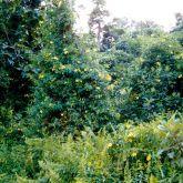 Yellow allamanda infestation