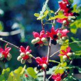 Ochna fruit and flowers