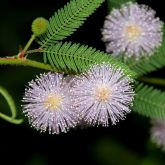 Common sensitive plant flowers and leaves