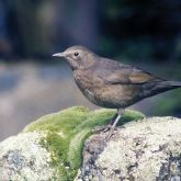 Blackbird on rock
