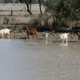 Feral goats drinking water