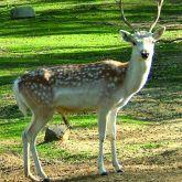 Feral fallow deer buck