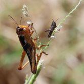 Migratory locust nymphs