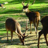 Feral rusa deer group
