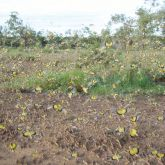 Yellow-winged locust swarm