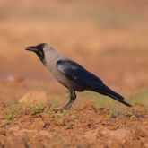 Indian house crow