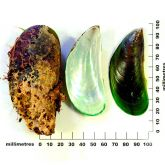 Asian green mussel with size scale