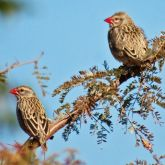 Red-billed queleas in tree