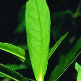 Alligator weed leaf