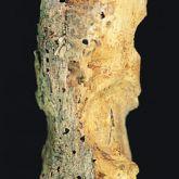 Chinese longhorned beetle borer holes
