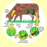 Cattle tick life cycle