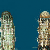 Helicoverpa larvae