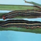 Larvae with longitudinal stripes