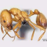 Side view of a tropical fire ant measuring between 1 and 5mm