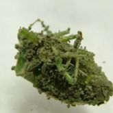 Dark green fuzzy layer covering a green vegetable bug infected with Metarhizium