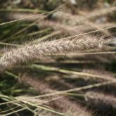 African fountain grass close-up of flower
