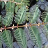 Mimosa pigra leaves and spikes