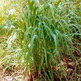Gamba grass plant form