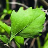 Groundsel bush leaf