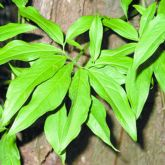 Arrowhead vine leaves