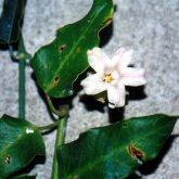 White moth vine flower and leaf