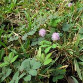 Common sensitive plant habit