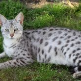 Pregnant savannah cat