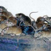 Mice plague