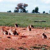 Rabbit plague