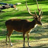 Feral rusa deer stag