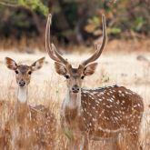 Feral chital deer with antlers