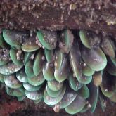 Asian green mussels cluster