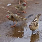 Red-billed queleas in puddle