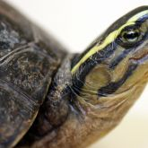 South East Asian box turtle head close-up