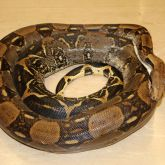 Boa constrictor curled up